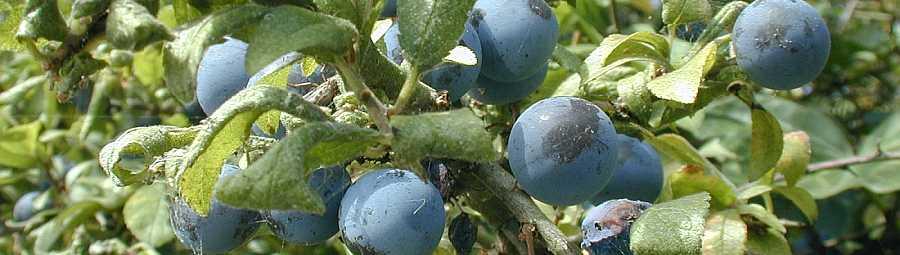 sloe-berries-banner
